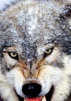 独狼线条纹身手稿分享展示